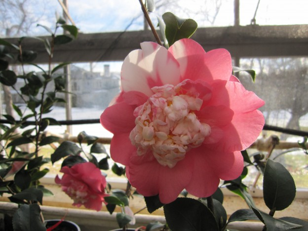 MBovet-camellia at Lyman estate greenhouse